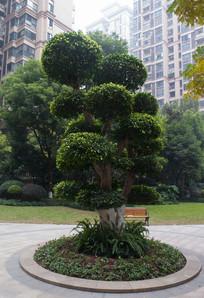 庭院中的小叶榕
