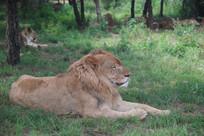 卧在草地上的雄狮