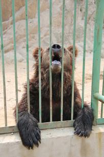 张嘴嘴讨要食物的棕熊