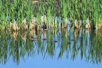 湿地湖泊中的野鸭
