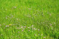 草地上的迎春花