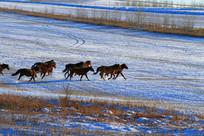 牧场之冬草地马群