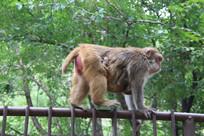 母猴带孩子
