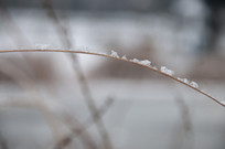 雪后野外植被上的残雪