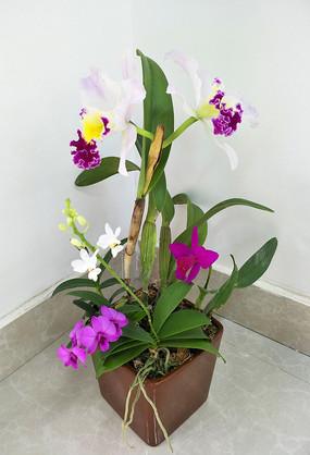 卡特兰盆栽和蝴蝶兰