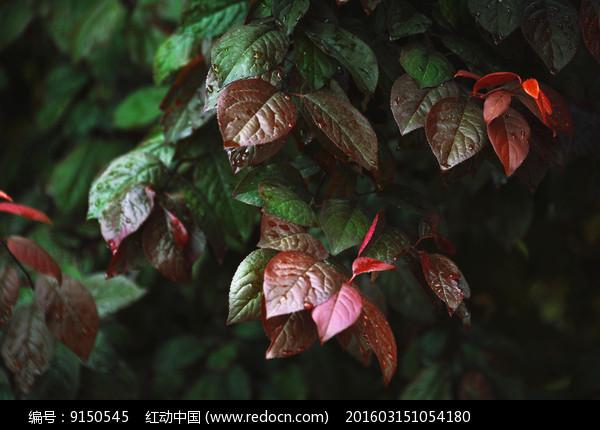 紫叶李叶子图片
