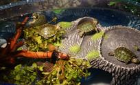 绿草水池里的五只乌龟