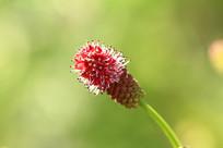 垂穗粉花地榆