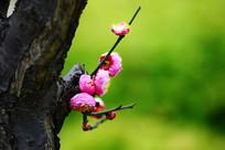 开在树干上的红梅花
