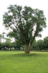橘子洲头公园里的大树