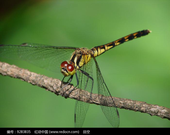 竖眉赤蜻图片