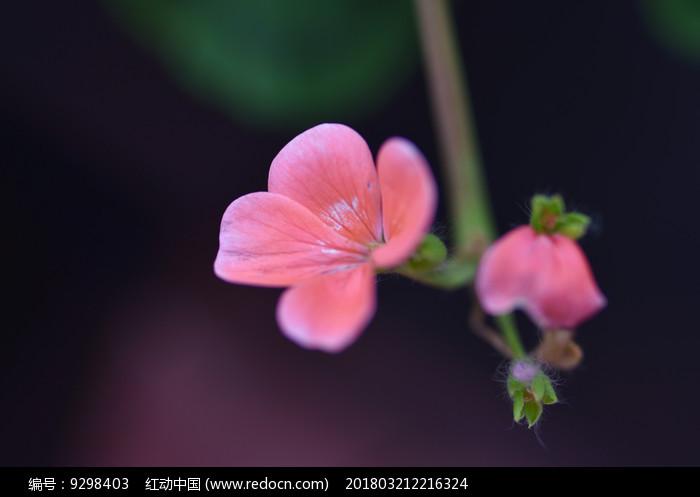 粉红色的一朵花