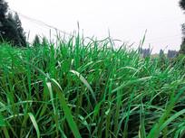 春天发芽的青草油麦地高清摄影