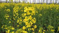 田地里的油菜花