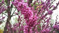 紫荆花风景