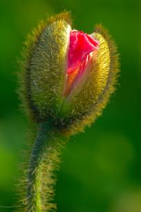 含苞待放虞美人花蕊