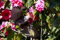 花中展翅的白头短脚鹎
