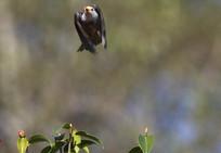 展翅飞鸣的白头短脚鹎