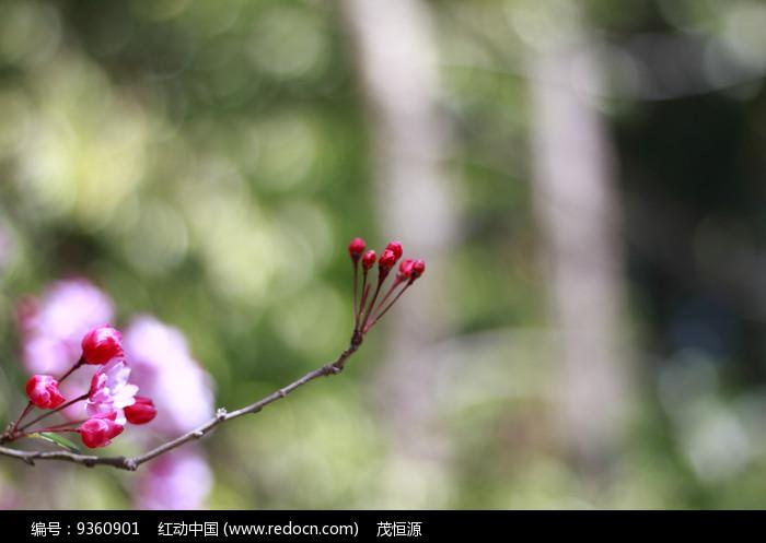 垂丝海棠图片果实图片
