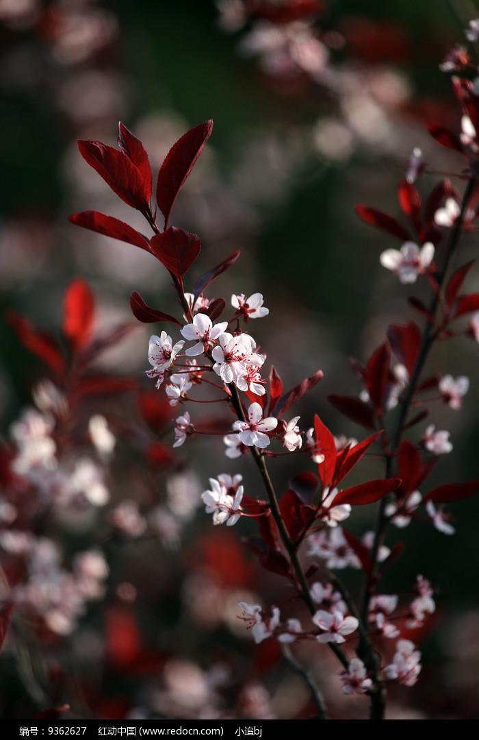 紫叶矮樱的叶子图片图片