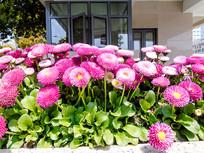 菊花菊科类植物紫色花朵摄影图