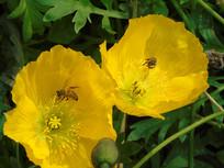 蜜蜂采花蜜