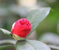 含苞待放的山茶花