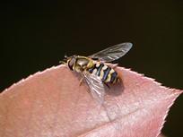 棕色树叶上的食蚜蝇