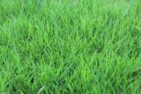 球场绿地草坪