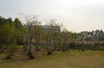 陈田花园人工栽种的树木