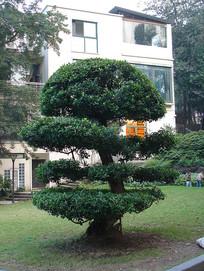 小叶榕园艺绿化
