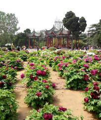 公园里的牡丹花