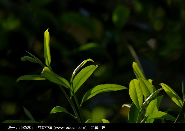 生态茶园沐浴阳光的鲜叶图片