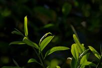 生态茶园沐浴阳光的鲜叶