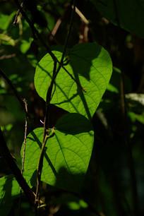 原始森林沐浴阳光的叶片