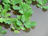 水生植物大薸