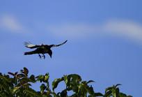 漂亮展翅的喜鹊