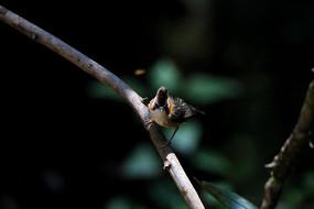 漂亮的黄颈凤鹛
