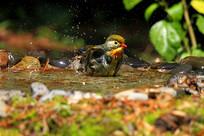 水中漂亮的红嘴相思鸟