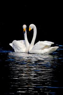 桃心形状的两只天鹅