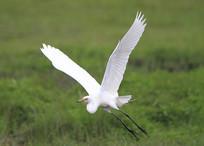展翅漂亮的鹭鸶