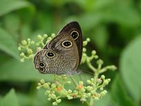 绿色植物上的矍眼蝶