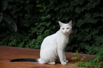 观复复猫黑尾白猫