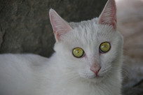 观复猫白猫