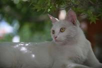 回头看的小白猫