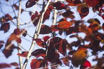 蓝天下的红色叶子