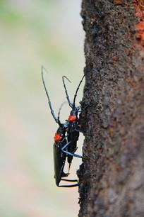 交配中的昆虫