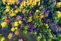 航拍灿烂秋季彩林