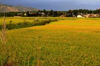 金秋稻浪的稻田