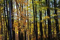 树林秋色树枝黄叶